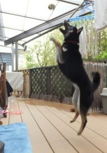 すごいジャンプ力の黒柴ルイ