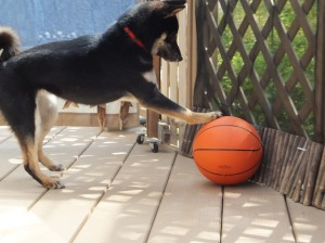 バスケットボールに反省する黒柴ルイ