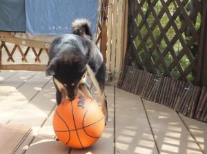 バスケットボールに噛み付く黒柴ルイ