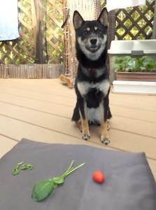 目の前にお野菜を並べられて「マテ」してる黒柴ルイ
