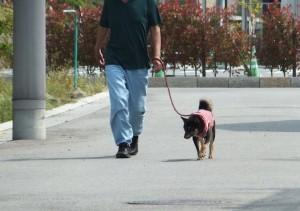 お父ちゃんとお散歩する黒柴ルイ
