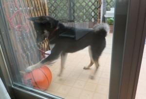 バスケットボールで遊ぶ黒柴ルイ