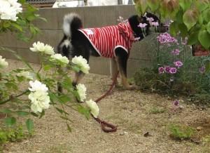 リードを外して一人でお庭まで冒険する黒柴ルイ