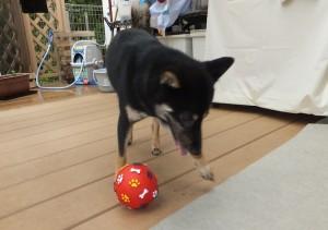 ボールで遊ぶ黒柴ルイ