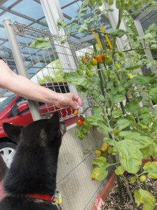 プチトマトを収穫する黒柴ルイ
