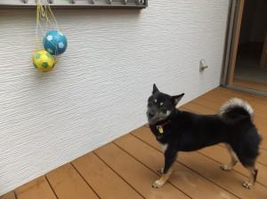 懐かしのボールを発見した黒柴ルイ