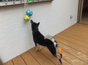 懐かしのボールを下からツンツンして遊ぶ黒柴ルイ