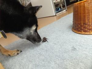 カブトムシをクンクンする黒柴ルイ