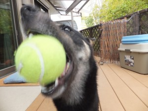 大きな口でテニスボールをくわえる黒柴ルイ