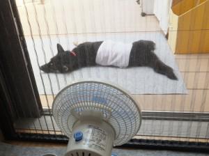 濡れタオルを腰に巻き扇風機にあたる黒柴ルイ