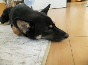 扇風機の前で幸せそうに寝る黒柴ルイ