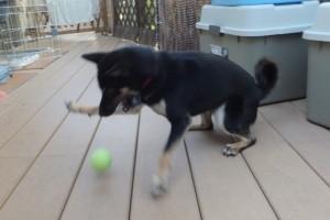 テニスボールに飛びつく黒柴ルイ