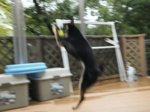 新しいテニスボールに大はしゃぎの黒柴ルイ