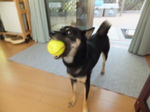 ボールで遊んでとおねだりする黒柴ルイ