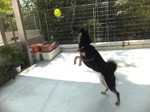 ボールと一緒に飛び上がる黒柴ルイ