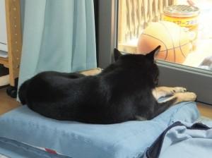 クッションの上で退屈そうにしている黒柴ルイ