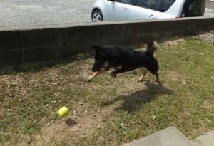 ボールを追いかけて走り回る黒柴ルイ