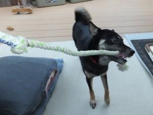 ロープをぐいぐい引っ張る黒柴ルイ