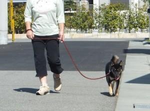 お母ちゃんとお散歩をする黒柴ルイ