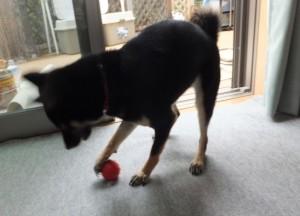 ダンベルを解体したボールで遊ぶ黒柴ルイ