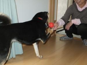 お母ちゃんにボールを取ってもらってありがとうをする黒柴ルイ