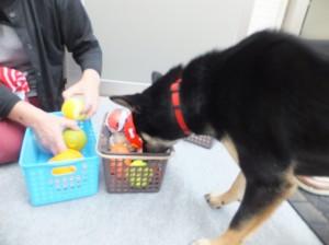 古い籠から新しい籠へおもちゃを移動させるお手伝いをする黒柴ルイ