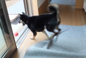 転がったボールを慌てて追いかける黒柴ルイ
