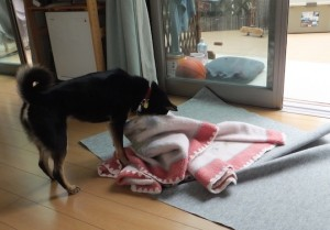 毛布に隠されたガムを必死に探す黒柴ルイ