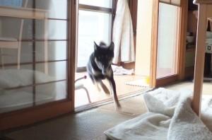 家の中を全力疾走する黒柴ルイ