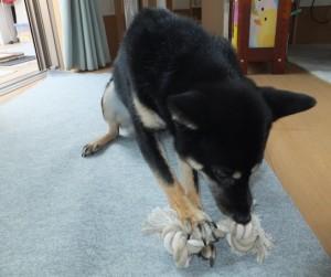 新しいおもちゃのロープボーンをガジガジする黒柴ルイ