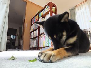 大根の葉っぱを美味しそうに食べる黒柴ルイ