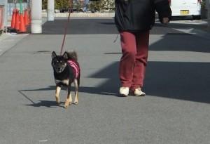 お母ちゃんとお散歩する黒柴ルイ