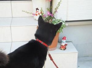 寄せ植えのお花を覗き込む黒柴ルイ