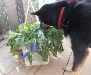 バケツの中の大根の葉っぱを食べたそうな黒柴ルイ