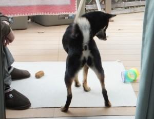 お母ちゃんを横目に一人で遊ぶ黒柴ルイ
