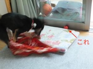 赤いボールが行方不明になってパニックで赤い毛布を振り回す黒柴ルイ