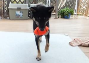 おもちゃのボールを持ってきて遊んでと催促する黒柴ルイ