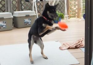 おもちゃのボールをジャンピングキャッチする黒柴ルイ