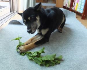 新鮮な大根の葉っぱにかぶりつく黒柴ルイ