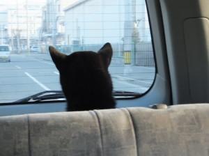 大人しく車に乗って連れられて行く黒柴ルイ