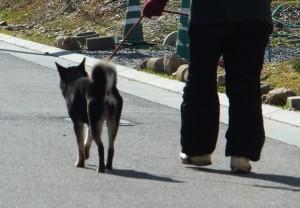 お母ちゃんとお散歩する黒柴ルイの後ろ姿