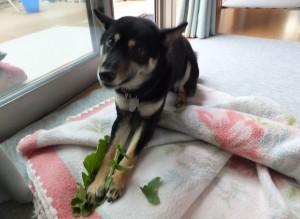 大根の葉っぱを食べて美味しそうな顔をする黒柴ルイ