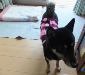 手編みの腹巻きを着る黒柴ルイ