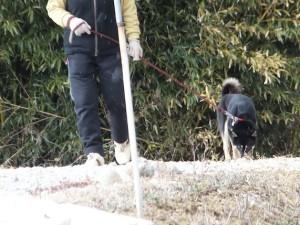 クンクンしながら畑を散歩する黒柴ルイ