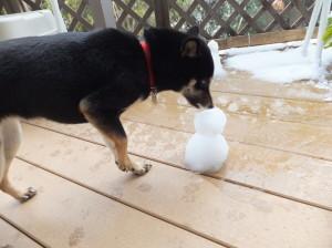 雪だるまに頭からかぶりつく黒柴ルイ
