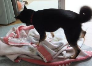 毛布をクシャクシャにして遊ぶ黒柴ルイ