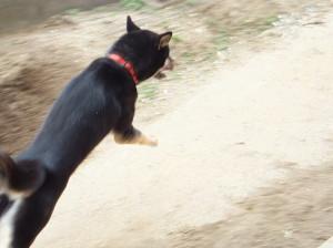 全力で走り回る黒柴ルイ