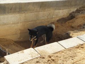 大きな穴の底で石ころを探す黒柴ルイ