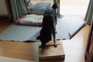 おやつの空箱のふたを開けようと頑張る黒柴ルイ