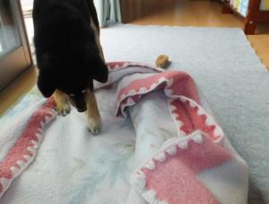 毛布の下に何かを発見した黒柴ルイ